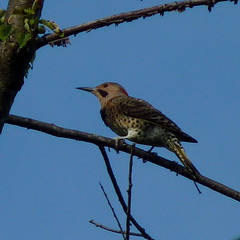 Yellow-shafted Flicker (Dendroica cerulea) Tags: yellowshaftedflicker northernflicker colaptesauratusauratus colaptesauratus colaptes picini picinae picidae picides pici piciformes aves birds woodpecker flicker summer highlandparkmeadows highlandpark middlesexcounty nj newjersey