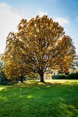 (Maya Lucchitta) Tags: fall geneva genf genve switzerland fallleaves golden schweiz suisse tree