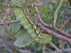Automeris io (carlos mancilla) Tags: automerisio insectos orugas caterpillars polillas moths olympussp570uz polillaamarillaojosdevenado