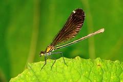 Damigella (luporosso) Tags: natura nature naturaleza naturalmente nikond300s nikon damselfly damigella libellula oro macro closeup
