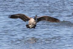Clearer Goose Landing (Jersey Camera) Tags: goose canadagoose delawareriver redbankbattlefield brantacanadensis