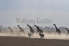 10076049 (wolfgangkaehler) Tags: 2016africa african eastafrica eastafrican kenya kenyan amboseli amboselikenya amboselinatlparkkenya amboselinationalpark wildlife mammal giraffe giraffes giraffacamelopardalistippelskirchi herd tower group burchellszebra burchellszebraequusquagga burchellszebras running galloping dust dusty duststorm duststorms