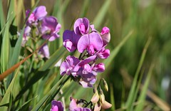 Sweet Pea (careth@2012) Tags: flower flowers nature sweetpea