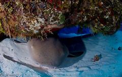 Cozumel Nurse Shark (jcl8888) Tags: nature wildlife shark saltwater sea ocean underwater adventure vacation travel fisheye tokina1017mm diving mexico cozumel scuba d7200 nikon nurseshark