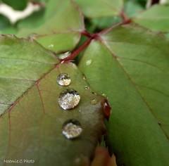 3 petites gouttes... (Noemie.C Photo) Tags: gouttes drops droplet gouttelettes pluie rain gouttedepluie feuilles leaf vert green nature garden jardin automn automne macro details