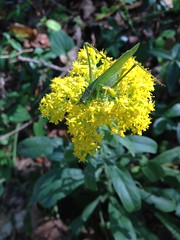 One More Katydid (mudder_bbc) Tags: insects katydid goldenrof