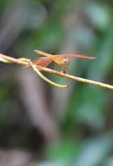 IMG_0417_cr (trevor.patt) Tags: palauubin singapore island dragonfly