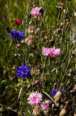 Cornflowers (The Crewe Chronicler) Tags: tatton tattonpark gardens garden flowers flower cheshire tamron canon canon7dmarkii cornflowers cornflower