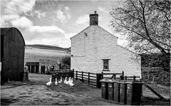 Harwood . (wayman2011) Tags: canon50d lightroom wayman2011 bwlandscapes mono farms geese pennines dales teesdale rabyestate harwood countydurham uk