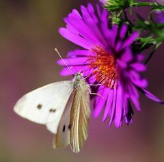 White Butterfly on Aster (Chris Kilpatrick) Tags: chris canon60d canon macro tamron whitebutterfly insect isleofman douglas garden september outdoor wildlife nature flower aster