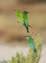 Bee-Eaters (THASLEEM MK) Tags: prey feed feeding bee eater qatar doha fly catch canon ef 300mm depth field outdoor insect animal sitting branches desert