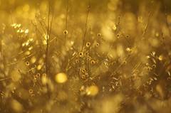 Echapper au tumulte des villes (pgauti) Tags: champ corbire aube or yellow jaune soleil pentax k5 k5ii da55300 55300 aficionados 5photosaday justpentax rural countryside