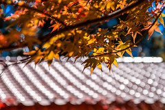 (4) Tags:       canon 500d sigma 1770 taichung taiwan maple red color photography