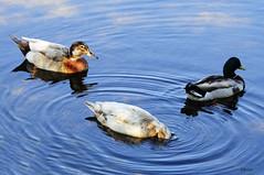 TRES (C@RLOS.R) Tags: patos crlos pontedabarca portugal anades anatidas parrulos auga avesacuaticas