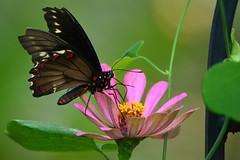 Goldrim Butterfly DSC_1126 (blthornburgh) Tags: thornburgh tampa florida backyard nature animal polydamas flying insect flower pattern