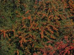 DSCN7166 (Gianluigi Roda / Photographer) Tags: autumn autumncolors shrubbery hedges