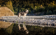 Laska (camel.arnaud) Tags: chien dog husky malamute nordique nordik sled traineau t automne autumn fall sunset summer rivire river light lumire reflet reflection water eau