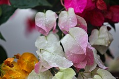 Bougainvilleas IMG_9313aw (sylharden) Tags: flower flora nature bloom bougainvillea plant