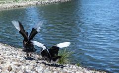 Winging... (ninestad) Tags: animales aves movimiento patos parques madrid espaa baldebernardo vuelo alas agua lago
