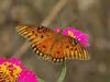 Gulf Fritillary (Agraulis vanillae) (AllHarts) Tags: gulffritillaryagraulisvanillae spac hollyspringsms butterflygallery naturesspirit naturescarousel ngc