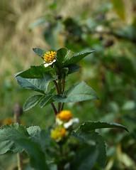 Galinsoga (fotomie2009 OFF) Tags: galinsoga wild wildflower spontaneous silvestre spontaneo flower fiore flora stemmatellagallantsoldieradventinastenocarphavargasiavasargia