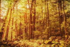 Tinkerbell's Light..... (Donna St.Pierre) Tags: nature waltham massachusetts ma woods hiking travel light photography landscape landscapes trees autumn autumn2016 ferns warm weather sunny forest outdoor serene tree plant texture foliage