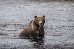 Bear Aware (rishaisomphotography) Tags: kodiak alaska brownbear grizzly boar male wild wildphotography nature naturephotographer water wet river lake fur
