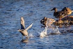 Running away (Lena_CS) Tags: bird birds wild wildlife animal animals sea flying flapping running