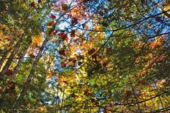 L'harmonie de la lumire  / Harmony with daylight (2-4) (deplour) Tags: feuilles automne couleurs arbres leaves autumn colors trees harmonie lumire light harmony