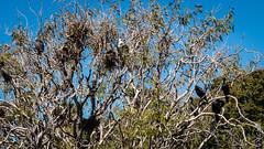 P1150562 (Pursuedbybear) Tags: sydney sydney2016 royalbotanicgardens birds cormorant littleblackcormorant phalacrocoraxsulcirostris piedcormorant phalacrocoraxvarius