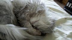 Sleeping Cat (akk_rus) Tags: doogee y300 doogeey300 marcello persian cat cats pet pets chat chats animal animals nature feline gato    chinchilla
