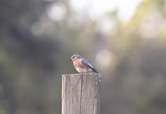 Another Bluebird on the fence post. (Woolmarket100) Tags: bluebird post nikon d500