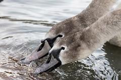 Hungry cygnets (amandahaxby) Tags: cygnet swan burden nature canon sigma wildlife
