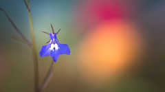 Lobelia (Dhina A) Tags: lobelia small flower plant blue sony a7rii ilce7rm2 a7r2 samyang 135mm f20 f2 samyang135mmf20 bokeh bokehlicious buttery smooth