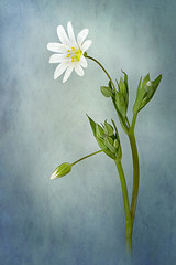 Simply Stitchwort (Jacky Parker Floral Art) Tags: portrait flower macro art nature floral vertical closeup garden spring flora creative single bloom flowering format wildflower orientation perennial stellariaholostea greaterstitchwort