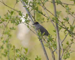 Blackcap (Sylvia atricapilla) male (John (Gio) * OVER 100,000 VIEWS *) Tags: male bird nature kent wildlife olympus gio zuiko warbler birdwatcher blackcap fourthirds sylviaatricapilla nbw bwg birdwatchinggroup zuikodigitaled50200mmf2835swd