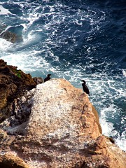 Down by the Sea (Speed of Light [2]) Tags: cormorants mediterranean mediterraneo wildlife spanish ibiza april familyfun catalan seabirds baleares balearicislands europeanshag 2013 pitiusas spanishislands santaeulaliadelrio greencormorant