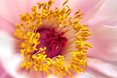 A peony in my garden (Mario Alpha) Tags: flowers flower macro nature photography mirror photo petals reflex interestingness interesting flickr pattern foto photographie sony exploring picture sigma natura peony petal translucent pollen fotografia fiori alpha fiore petali interest interesante specchio a77 fotografa petalo motivo 105mm peonia intressant traslucido sonyalpha sigma105mmexdgmacro sonya77 slta77 sonyslta77 sonyslta77v slta77v sonyalphaa77 marioalpha marioottaviani
