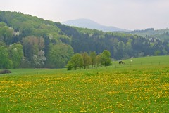 Beginning Of May II (ivlys) Tags: nature germany landscape blossoms dandelion landschaft peartree blten dungbeetle odenwald lwenzahn birnbaum mistkfer frankenhausen ivlys