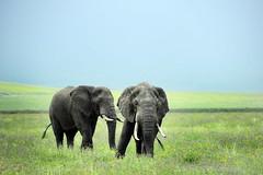 NGORONGORO (BoazImages) Tags: africa wild elephant nature tanzania african wildlife meadow meadows ngorongoro crater elephants boazimages