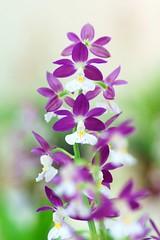 えびね (海老根)/Calanthe-24 (nobuflickr) Tags: orchid flower nature japan kyoto calanthe tkp thekyotobotanicalgarden 海老根 awesomeblossoms えびね persephonesgarden ラン科エビネ属 20130503dsc09562