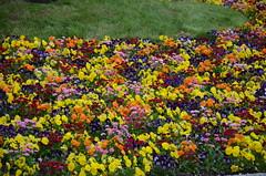 Spring flowers (Ginas Pics) Tags: flowers nature smart spring colorful blossoms mygarden copyright2015reginasiebrecht