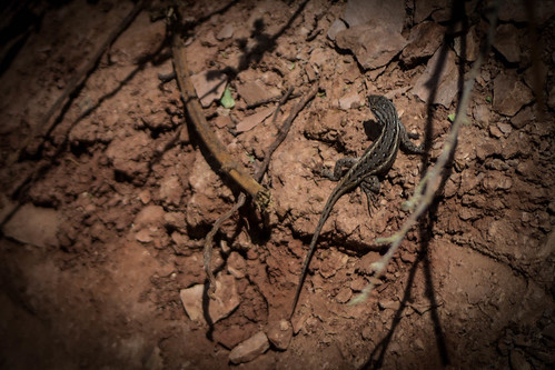 Portrait of Lizard on Dirt (Color)