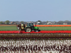 Spraying tulips (-hndrk-) Tags: tractor canon tulips horizon perspective thenetherlands spraying s100 hndrk dutchflowerfields