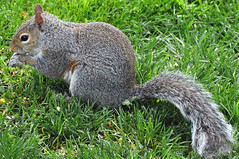 2013-05-19 Eastern Gray Squirrel (01) (-jon) Tags: sanjuanislands anacortes washingtonstate skagitcounty salishsea sciuruscarolinensis easterngraysquirrel fidalgoisland