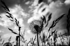 Forget (stefan.behm) Tags: sky bw plants nature clouds germany deutschland blackwhite natur pflanzen himmel wolken sw brandenburg pusteblume schwarzweis sbphotography 2013 sb canoneos600d stefanbehm