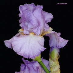 Bearded iris - 'Rippling Waters' (jlcummins - Washington State) Tags: iris usa flower washington washingtonstate beardediris flowergarden