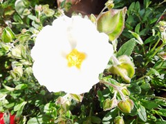 Artistically Over Exposed, Cistus. (Sunchild57) Tags: garden cistus sunrose assignment52232013 artisticallyoverexposed