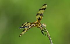 halloween pennant (explored 6/8/2013) (robert salinas) Tags: dragonflies sigma odonata a57 hornsbybend