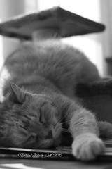 IMG_6647 - Ma soire puce d'hier soir tait  tomber ! j'te jure (heuliez142011) Tags: cat canon chat pancake efs repos flin focalefixe ef40mm efs40mmf28stm canoneos760d heuliez142011